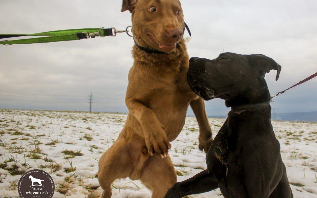 Socializace velkých psů