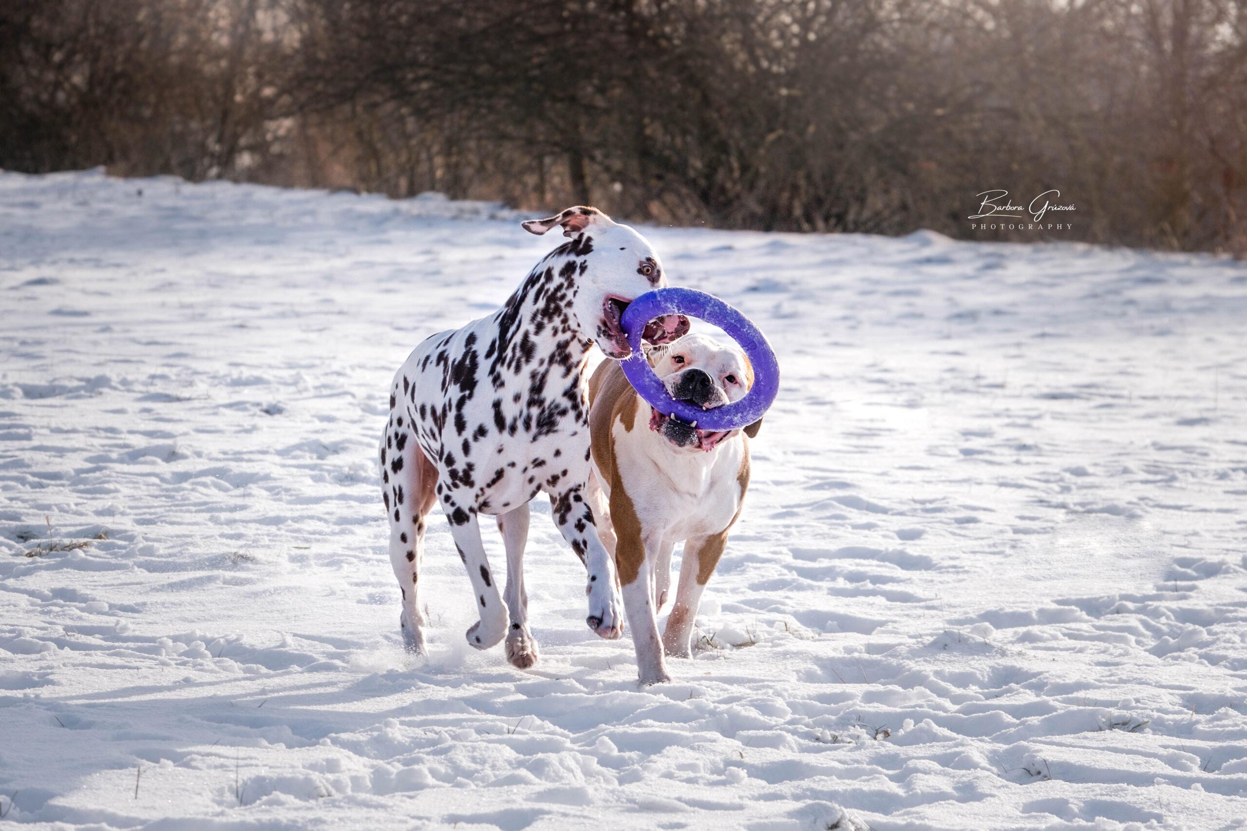 Pes zákus loveckého pudu puller hračka psa hra výcvik aportování jak naučit rebeldog